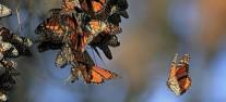 monarchs_roosting