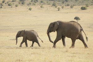 פילים בספארי בקניה. תצלום: Weldon Kennedy.flickr