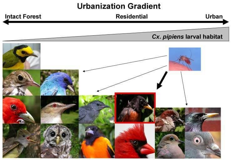 קדחת הנילוס המערבי מועברת על ידי יתושי Cx. Pipiens למיני עופות רבים. באזורים עירוניים יורד מגוון מיני הציפורים ואילו כמות היתושים עולה (מקור: Kilpatrick, A.M.2011. Science)