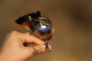 שינוי האקלים פוגע בציפורי השיר שחולפות מעל אילת, בצילום כחול חזה. צילום: נועם וייס, פארק הצפרות אילת, החברה להגנת הטבע