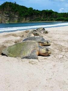 כל שבעת מיני צבי הים בעולם מצויים בסכנת הכחדה. צילום: Paso Pacifico