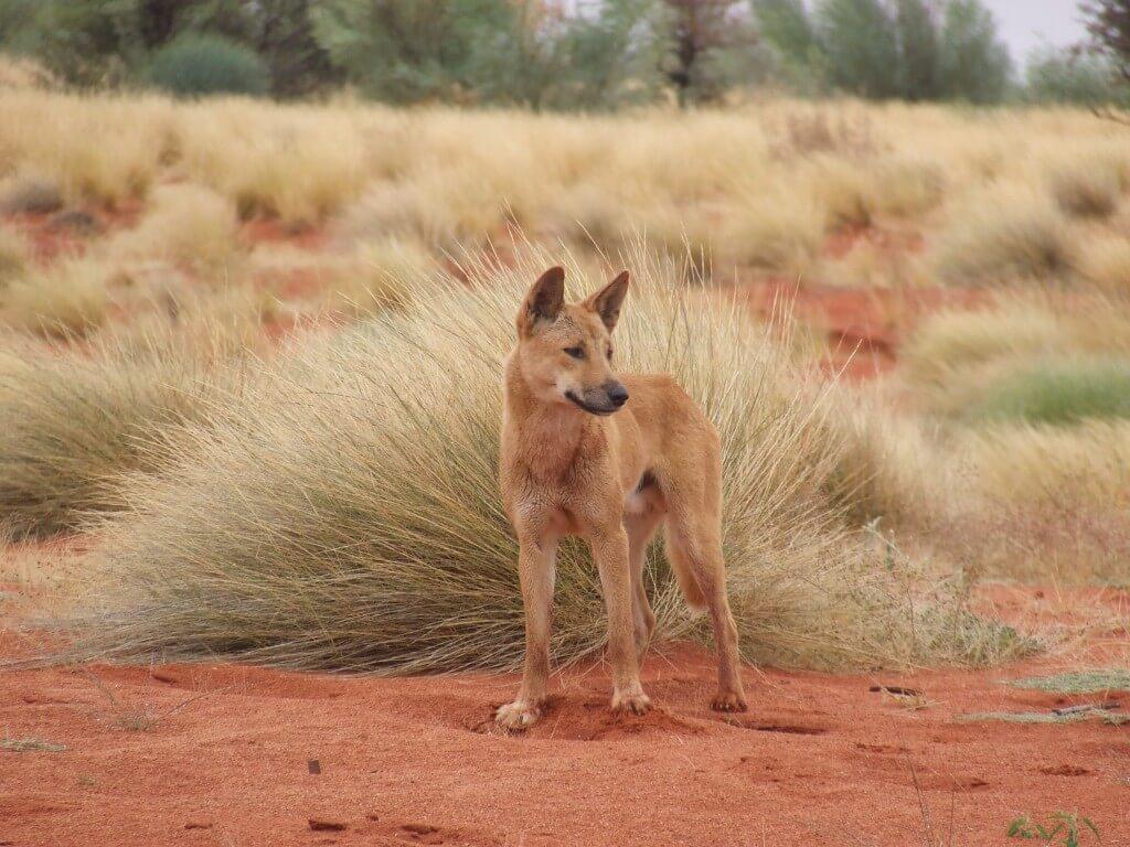 """דינגו במדבר סימפסון שבאוסטרליה. צילום: ד""""ר אריאן וולך"""