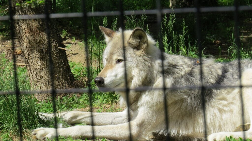 זאב בגן החיות. 'אנחנו אף פעם לא בסכנה להיות מוסריים מדיי'. צילום: Luke Jones, Flickr