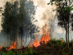 שריפה של הצומח על הקרקע מסוכנת פחות מדליקת צמרות, שהיא המסוכנת ביותר צילום - Rini Sulaiman for CIFOR