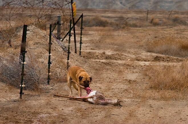 כלבי בית ללא בעלים מתקבצים ללהקות, מתפראים וצדים חיות בר. צילום: דורון ניסים