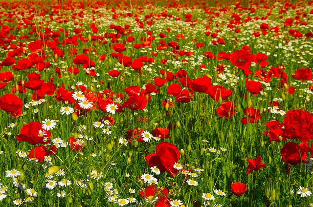 """פריחה אביבית. """"קיימת מגמת עלייה של דיווחים מאנשים המתלוננים על סימפטומים של אלרגיה שמופיעים לזמן ממושך יותר מבעבר"""". צילום: vasse nicolas,antoine, Flickr"""