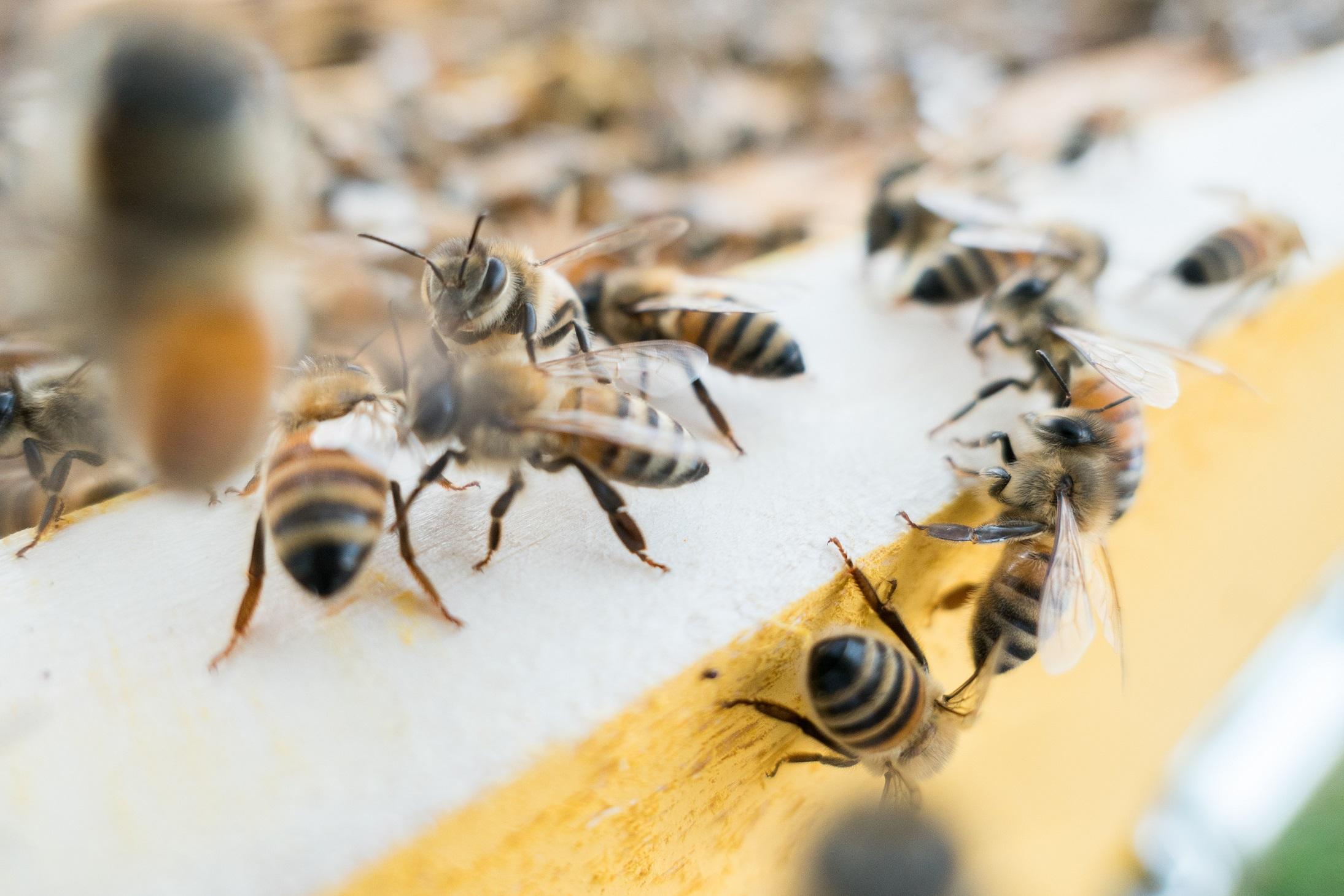 למה הדבורים מפסיקות לרקוד?