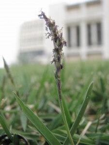 פריחה של דשא זויסיה, אלרגן נפוץ. צילום: פרופ' עמרם אשל