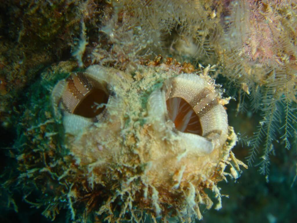 """אצטלנים ממין Styela plicata הם מין פולש שנמצא במספרים גדולים והולכים ליד חופי ישראל. צילום: ד""""ר נועה שנקר"""