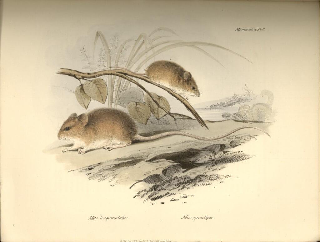 איור של דרווין, 1838.