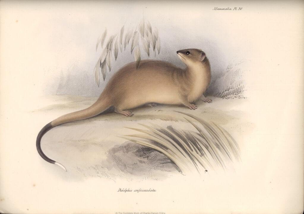 איור של דרווין, 1839