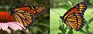 Monarch (left) and viceroy (right) butterflies exhibiting Müllerian mimicry. Credit - PiccoloNamek and Derek Ramsey, wikipedia