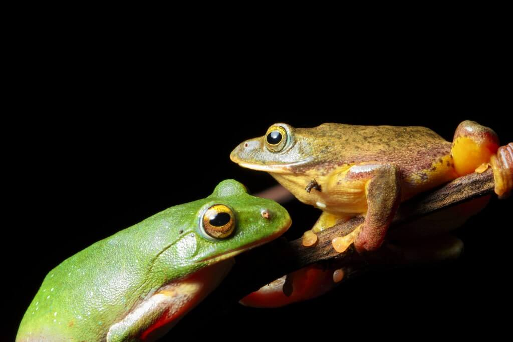 Taipei green tree frog, female (left) and male (right). credit- cypherone, Flickr