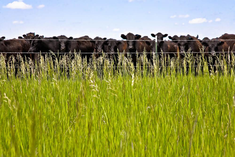 """פרות בחווה מיניסוטה, ארה""""ב. צילום: mgbjay.flickr"""