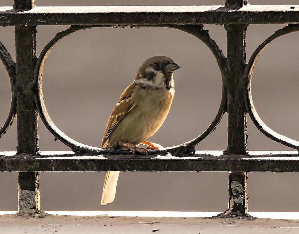 דרור. מהציפורים הראשונות שמתאימות את עצמן לשגרה של בני האדם בעיר. צילום: Brian Evans.flickr