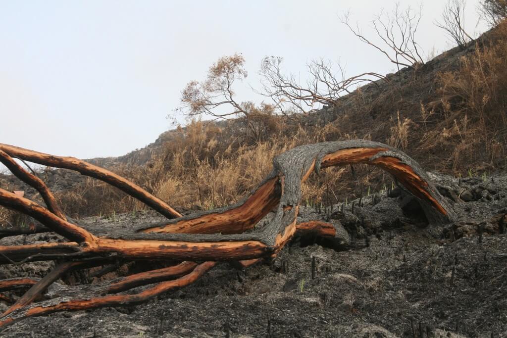 """אורנים שרופים לאחר השריפה בכרמל ב-2010. צילום: ד""""ר דן מלקינסון"""