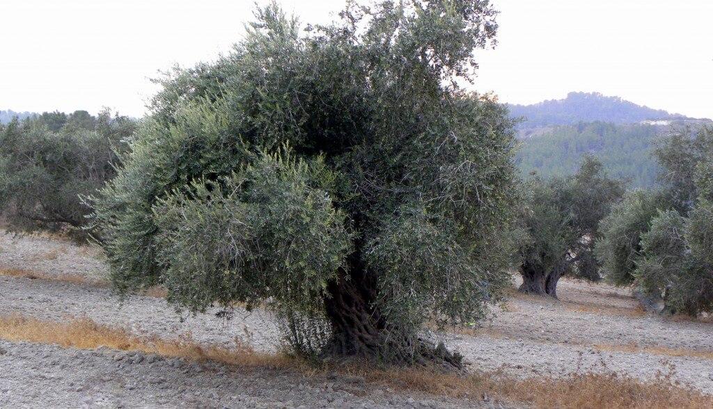 עץ זית מתורבת בבית ג'מאל. תצלום: עוז ברזני