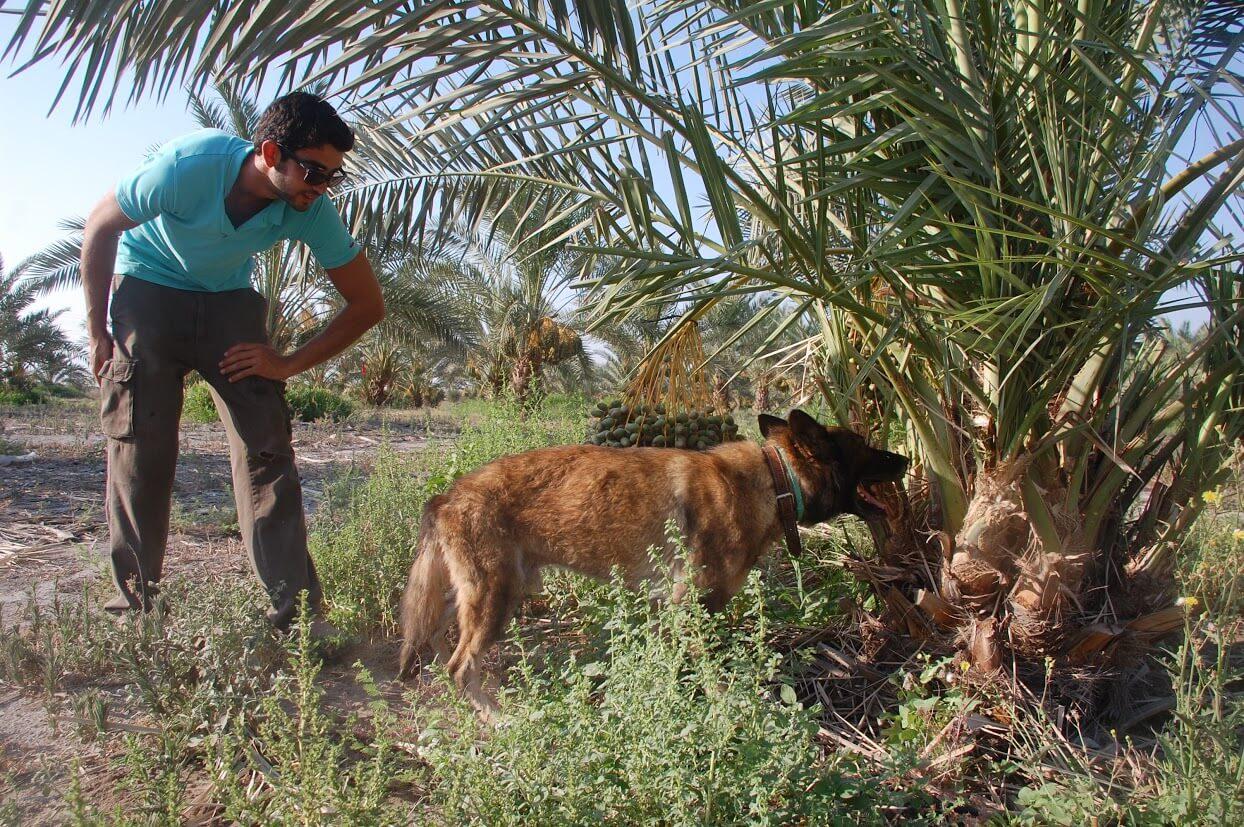 הכלב נוריס וניב ארציאלי מחברת נו-ריסק בפעולה במטע תמרים. תצלום באדיבות זיו לייבה