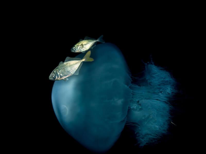 צנינון דו-ימי (alepes djedaba) שוחה בתוך חוטית נודדת. צילום: יוסי אליני