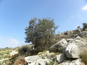 עץ זית בר בצורית. תצלום: עוז ברזני