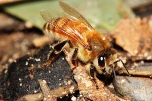 דבורת הדבש. צילום: איל ביז'אוי