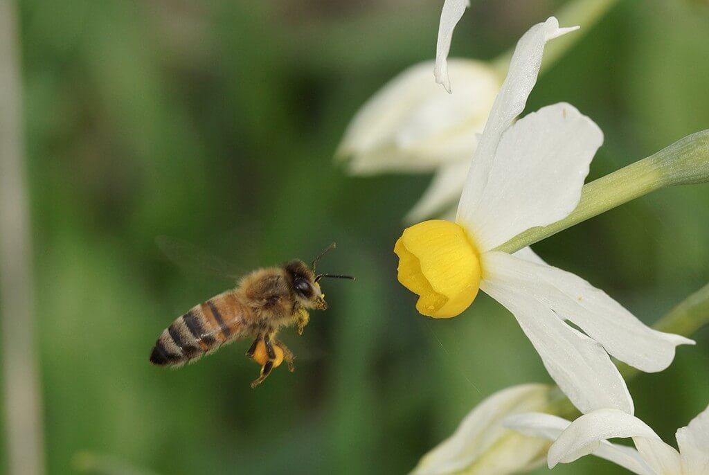 דבורת הדבש בפעולה. צילום: עמיר וינשטיין