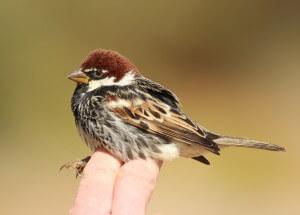 אחת הציפורים החורפות בישראל היא דרור ספרדי, אלא שבשנים האחרונות מורגשת ירידה משמעותית במספרן. צילום: נועם וייס, פארק הצפרות אילת,  החברה להגנת הטבע
