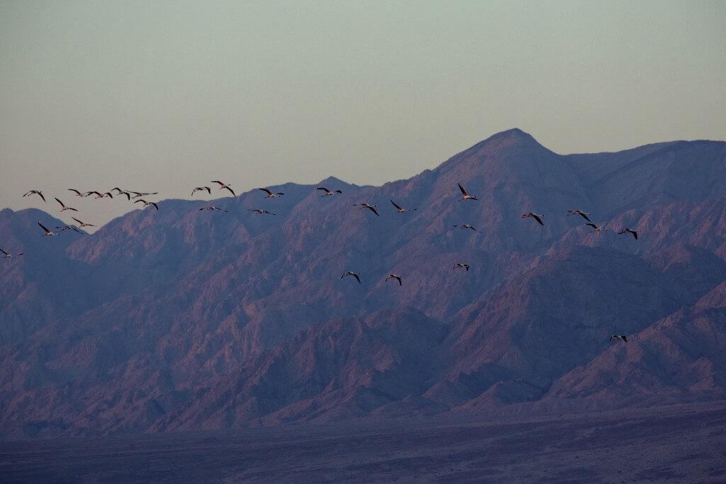 ישראל היא גשר יבשתי המחבר את אירופה, אסיה אפריקה. הציפורים הנודדות עוברות מעל מדבר הסהרה ועוצרות באילת לנוח ולאכול. צילום: Israeli-Ministry-of-Tourism, Flickr