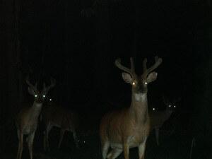 יצורי הלילה נפגעים מהחשיפה לאור - אלה שצדים עלולים להתגלות, ואלה שניצודים חשופים בפני הטורפים. צילום: lovecatz, Flicr