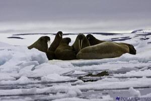 ניבתנים על קרח צף. צילום: Polar Cruises, Flickr
