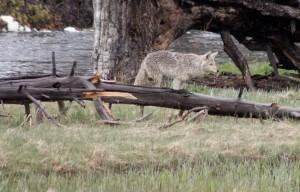 הפארק הלאומי ילוסטון בארצות הברית. צילום: Rachel Knickmeyer, Flickr