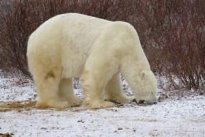 דוב קוטב אוכל עשב. צילום: עמיר בלבן
