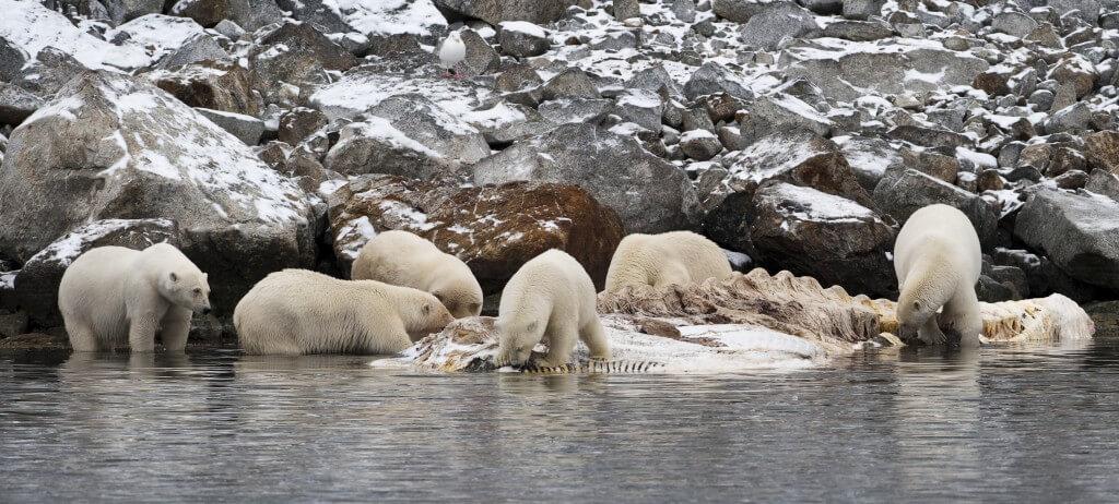 התפריט של דובי הקוטב עתיר שומן שמגיע מבעלי חיים שהם אוכלים. בתמונה: דובים אוכלים בשר של לווייתן שגופתו הגיעה אל המקום שבו הם חיים. צילום: Stefan Cook, Flickr