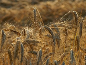 המשימה: להעביר גנים עמידים אל צמחי התרבות. צילום: böhringer friedrich, Wikipedia