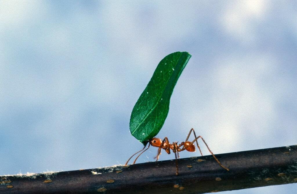 כשרוח חזקה נושבת, העלים נעשים מעין מפרשים שיכולים לגרור את הנמלה ולהעיף אותה. צילום: PROU.S. Department of Agriculture, Flickr