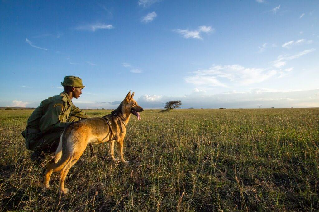 שמורת אמבוסלי שבקניה היא ביתן של אוכלוסיות פילים גדולות, המשמשות למחקר כבר 40 שנים. צילום: Big Life Foundation