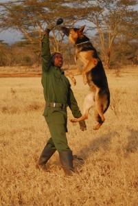 הכלבים מזהים את הריח של הציידים גם יום אחרי שהפשע התבצע ומובילים אל הציידים הבלתי חוקיים. צילום: Big Life Foundation