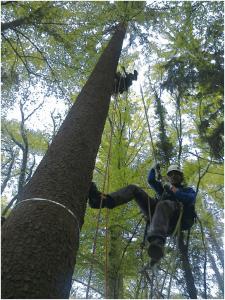 מטפס מקצועי מטפס על אשוחית למדידות עלים. צילום: כריסטיאן קירנר ותמיר קליין