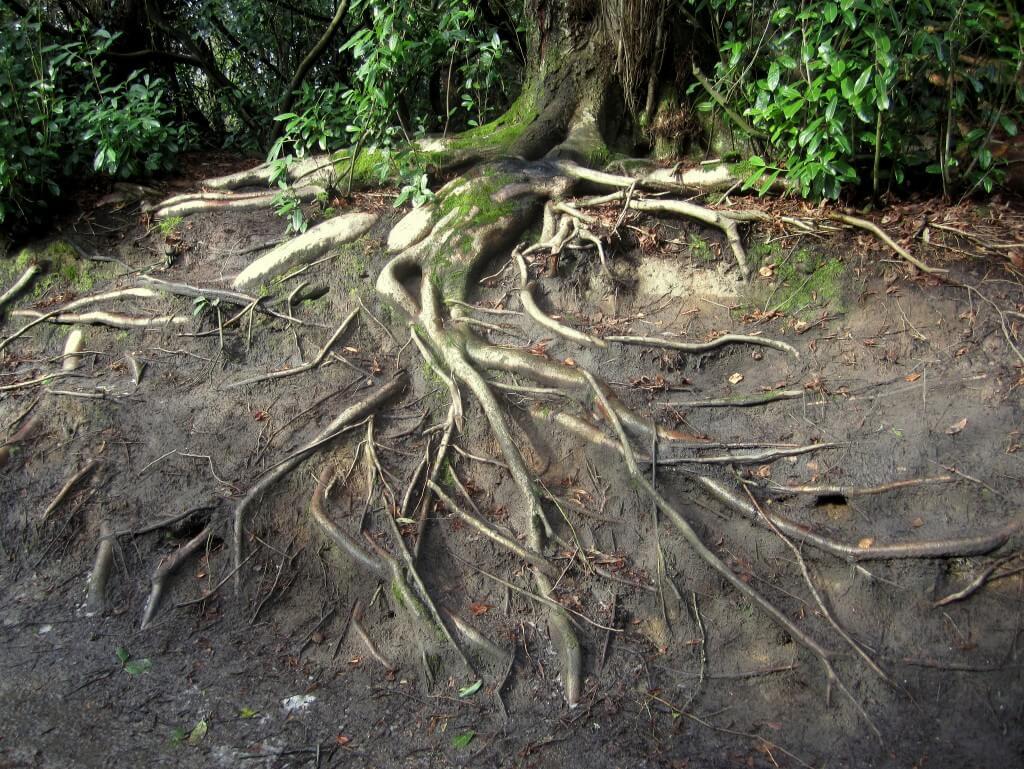"""""""מערכות השורשים הסבוכות של עצים קרובים יוצרות רשת שדרכה יכולים לעבור חומרים"""". צילום: Matthew Britton, Flickr"""