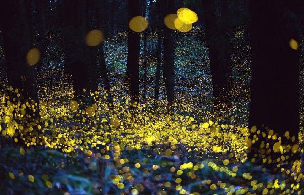 גחליליות. תצלום: xenmate.flickr