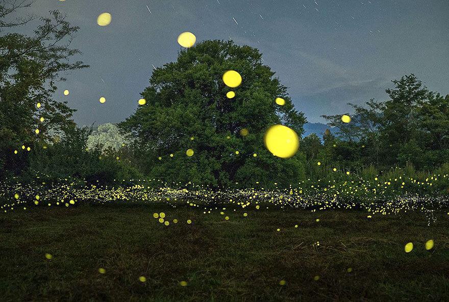 גחליליות ביפן. תצלום: zabby