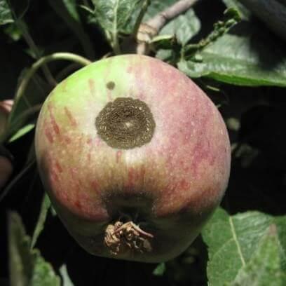 כתבי גרב על תפוח מסוג סטרקינג. תצלום: קרן לוי