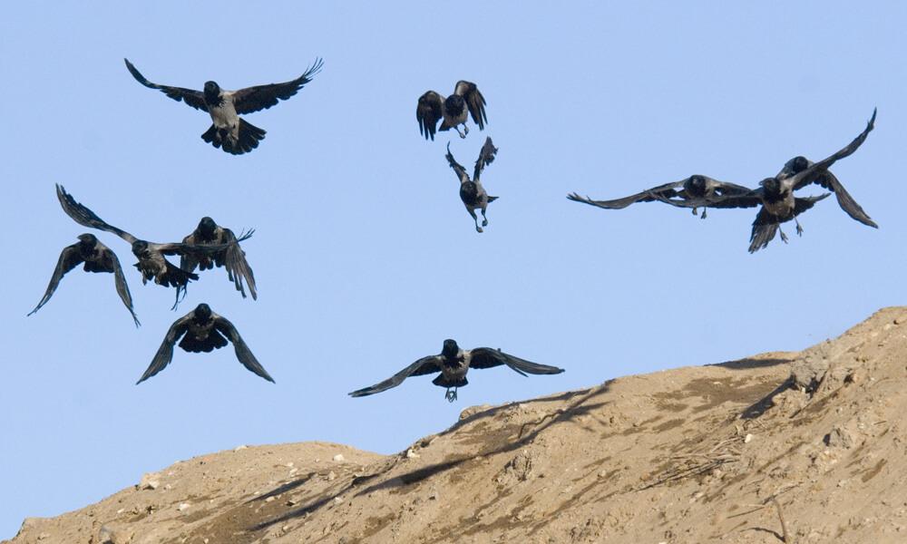 העורב האפור מוגדר מין מתפרץ: אוכלוסייתו בישראל כיום גדולה במיוחד. צילום: Sergey Yeliseev, Flickr