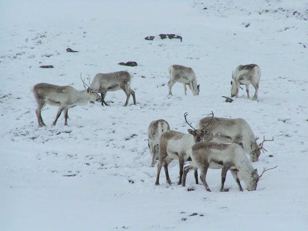 איילי צפון. שכבות עמוקות במיוחד של קרח ושלג מנעו מהאיילים להגיע אל הצמחייה שמתחת לשלג שממנה הם ניזונים. צילום: Tristan Ferne, Flickr