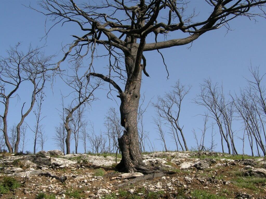 """צומח מכסה את הקרקע לאחר השריפה בכרמל. אחת הטעויות הנפוצות שמתרחשות לאחר שריפה היא כניסה מהירה לשטח עם כלים כבדים לצורך כריתה והוצאת עצים שרופים. צילום: ד""""ר אלי ארגמן"""