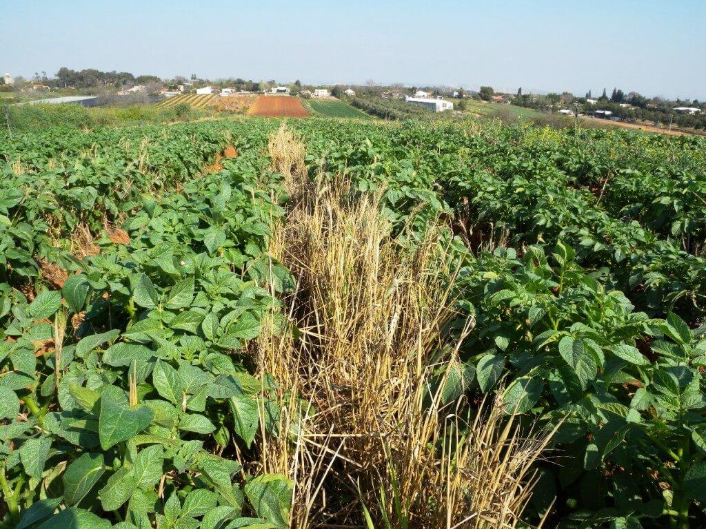 """חיטה שנזרעה במיוחד לצורך מניעת סחיפת קרקע בשדה תפוחי אדמה. צילום: ד""""ר גיל אשל"""