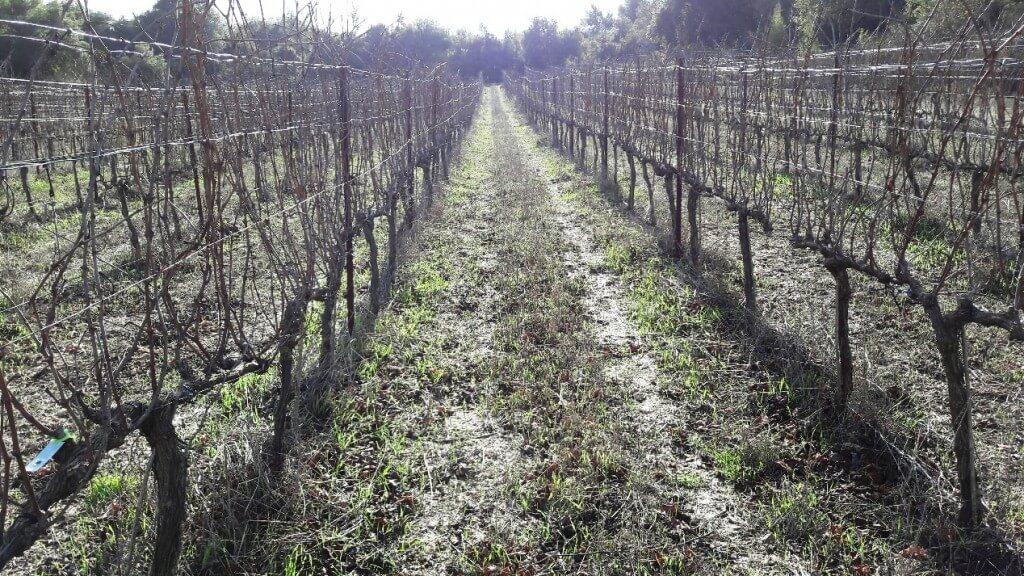 """""""כרם שבו"""" בגליל העליון. 90 דונם ענבי יין המגודלים בממשק גידול של 100 אחוז חיפוי צמחי. צילום: ד""""ר גיל אשל"""