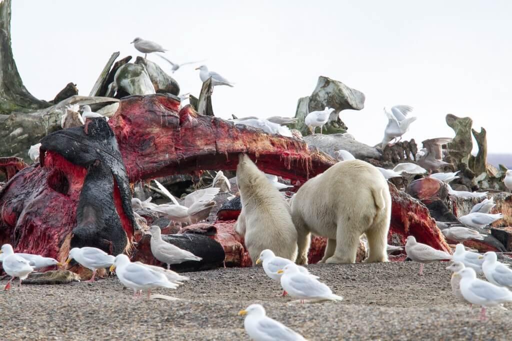 דובי קוטב ניזונים מפגר של לווייתן ליד העיירה קקטוביק. תצלום: Arthur T. LaBar