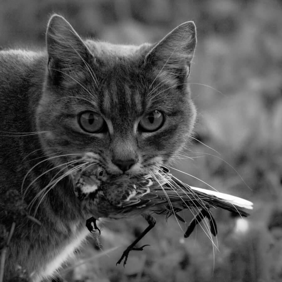חוקרים מצביעים על ירידה חדה באוכלוסיות של בעלי קטנים בגלל חתולי הבית. צילום: Etienne Valois, Flickr