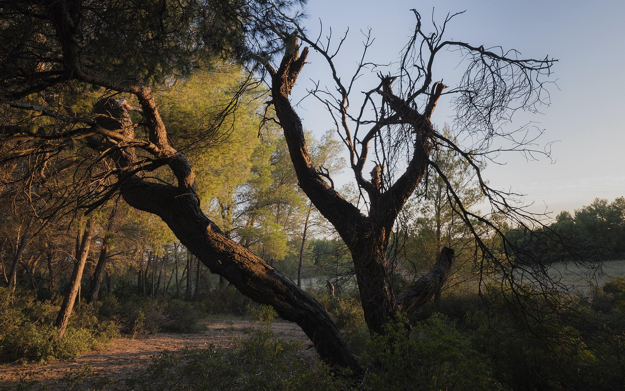 עצי האורן מתים מצמא